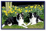 Bliss & Fizz among the daffodils