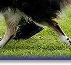 Bliss, aged 11yrs, showing how a Collie should move!