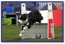 Brie competing at Flyball
